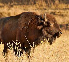 bison by John E. McAlear