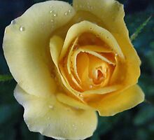 Yellow Droplet Rose by MarianBendeth