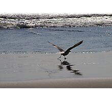 Gull Ascending Photographic Print