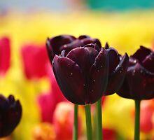 Tulips! by Mitul Jhaveri