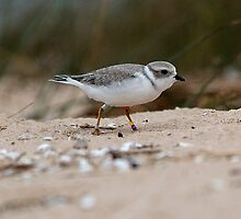Piping Plover at Sturgeon Bay by Robert deJonge