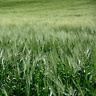 Spring Barley, Boveedy - Co. Londonderry by Andrew Gilmore