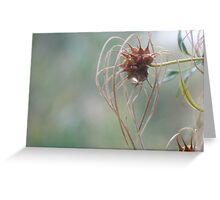 seedpod – native clematis Greeting Card