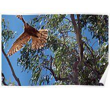 Hawk Dive – NSW Poster