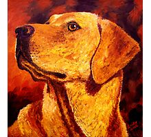 Labrador Dignity Photographic Print
