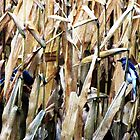 Blue Jays In the Corn Field by nikspix