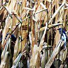 Blue Jays In the Corn Field by nikspix