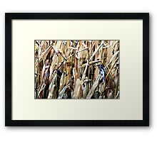 Blue Jays In the Corn Field Framed Print