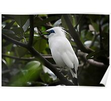 Indonesia 8 - Balinese Starling, Leucopsar rothschildi, Poster