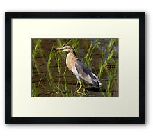 Indonesia 11 - Javan Pond Heron, Ardeola speciosa Framed Print