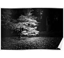 Autumn Maple, Westonbirt Poster