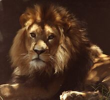 Retreat from the Heat - African Lion by Debbie Thatcher