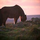 Dartmoor pony at Sunset, Dartmoor, Devon by Dave Sayer