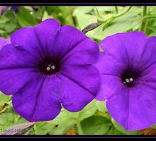 Purple Petunias in Love by Louise Page