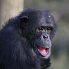 Humoured Chimp by Stuart Daddow Photography