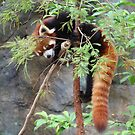 Red Panda (China) by Christine Oakley