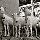 Three Goats by itchingink