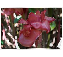 Waxy Impressions (Red Torch Ginger) Poster