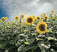 Sunflower Storm by DeerPhotoArts