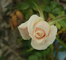 Rose after rain by Themis