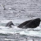 Surface Lunge Feeding Humpback by Gina Ruttle  (Whalegeek)