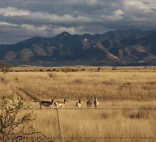 Arizona Antelope by Judi FitzPatrick