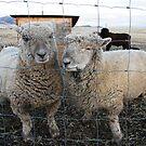 Here's Two Ewe by Judi FitzPatrick