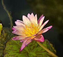 Full bloom by David Lee Thompson