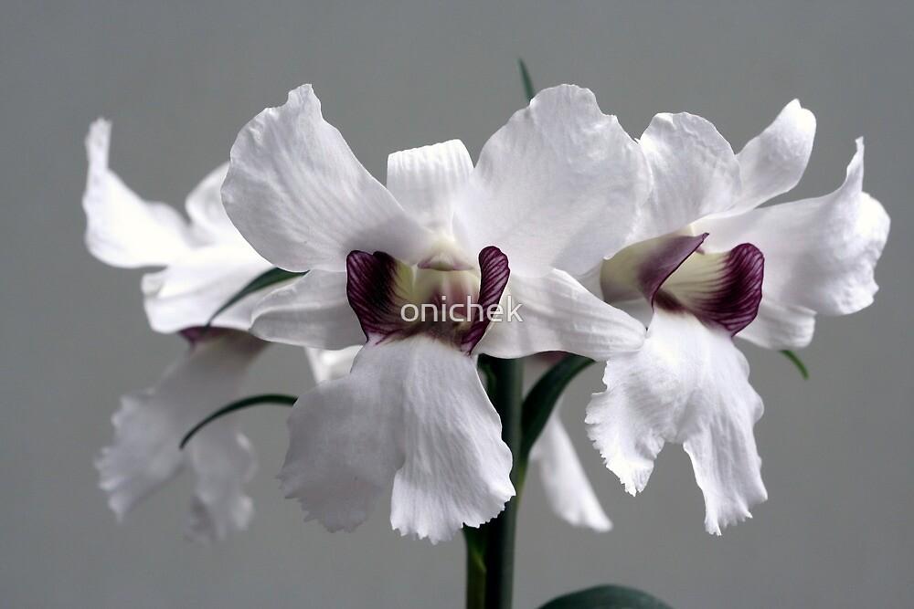 White by onichek