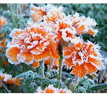 Frosty Marigolds Photographic Print