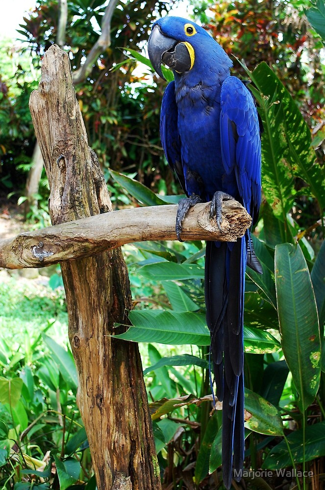So handsome in his Dress Blues ~HYACINTH MACAW by Marjorie Wallace
