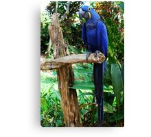 So handsome in his Dress Blues ~HYACINTH MACAW Canvas Print