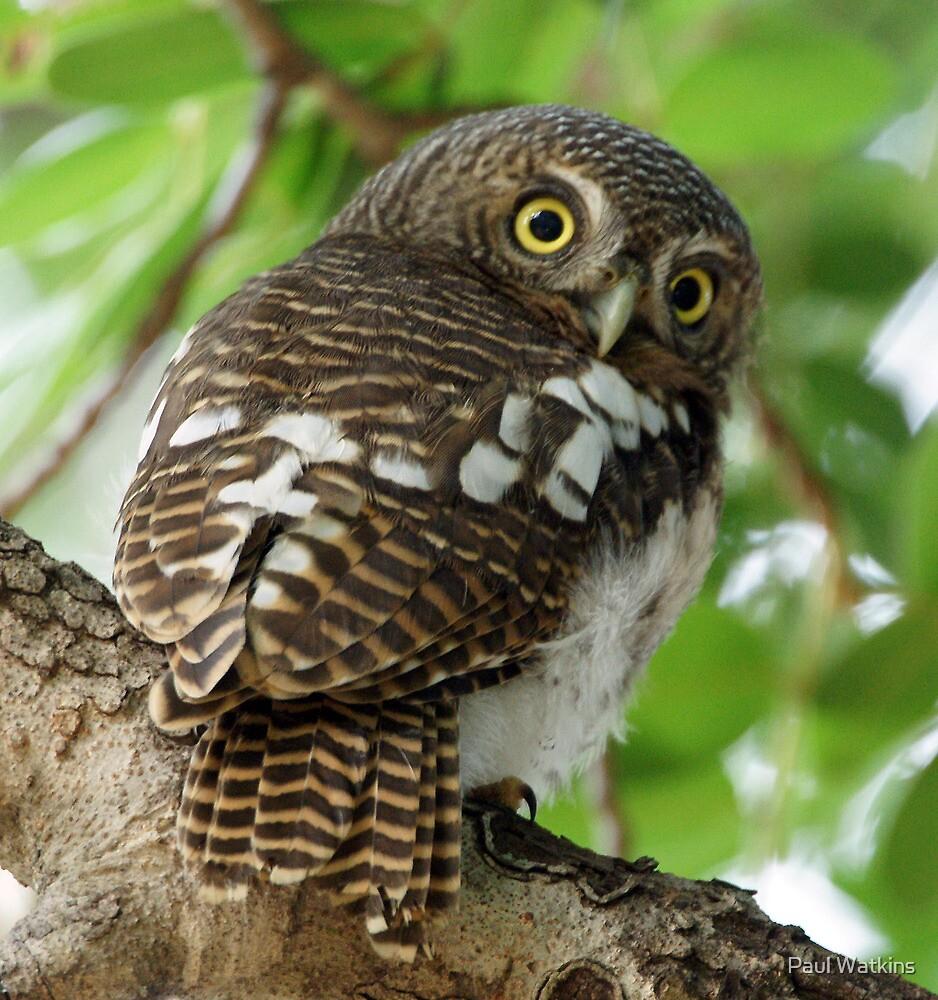 Barred Owl 4 by Paul Watkins