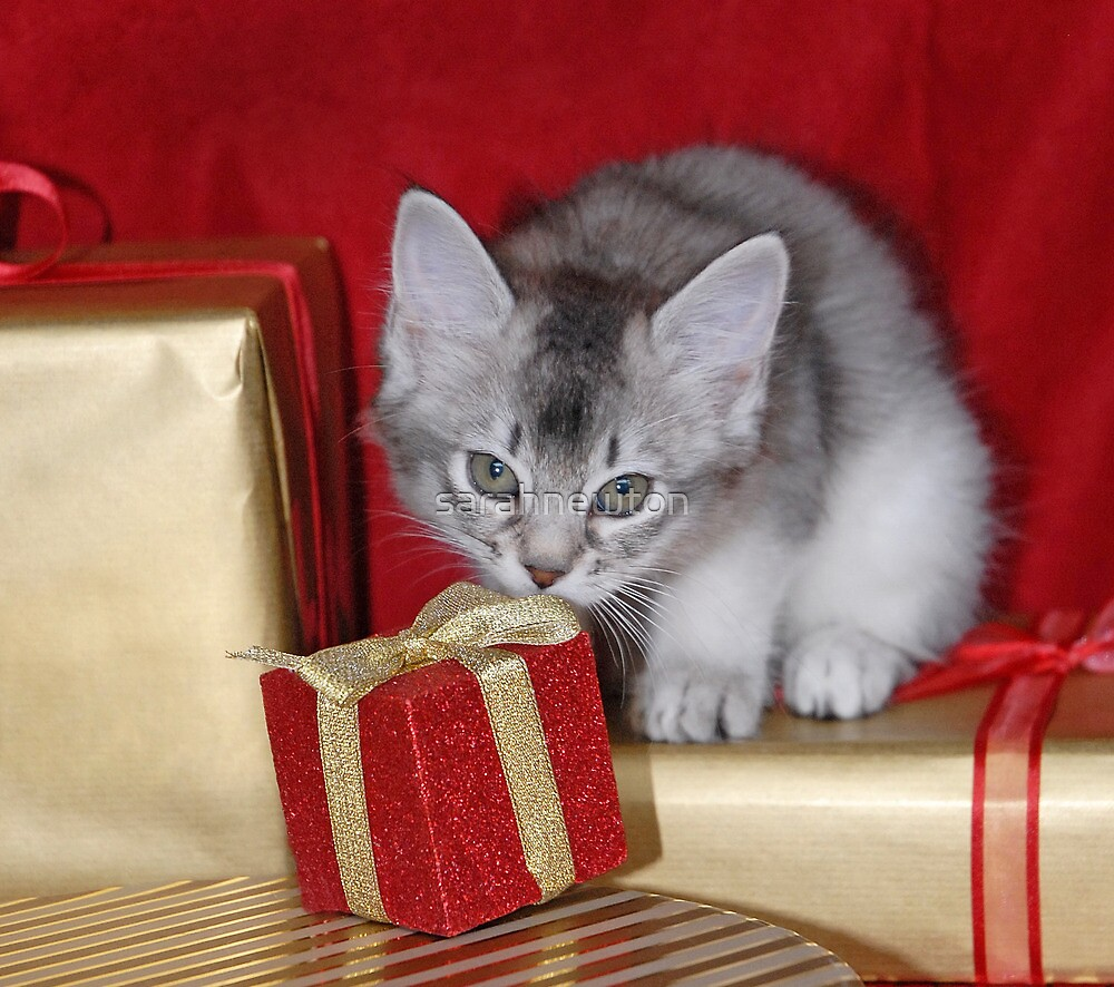 Somali kitten amongst Christmas presents by sarahnewton
