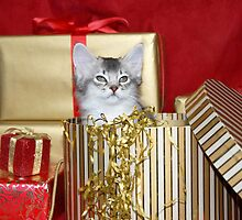 somali kitten in a Christmas box! by sarahnewton