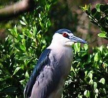 Night Heron by D R Moore