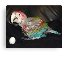 Macaw 7 Weeks Canvas Print