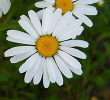 Daisy Dew Drops by BShirey