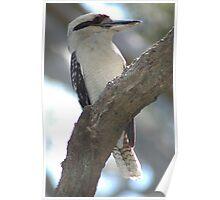 Kookaburra #2 - NSW Poster