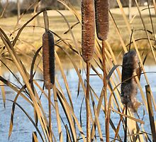 Pond Side Cattails by kenspics