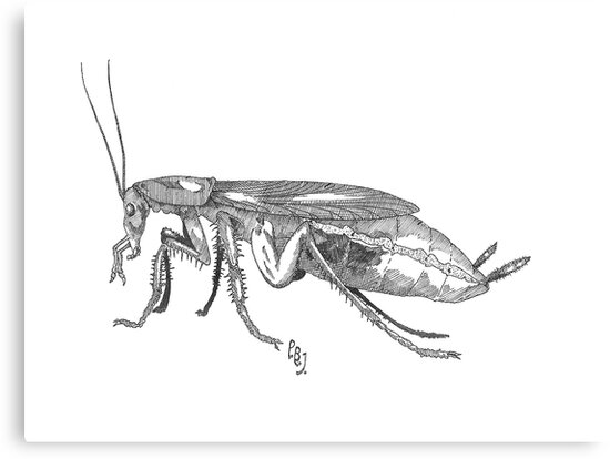 Common German Cockroach by Pete Janes