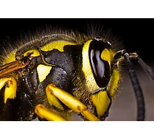 Common wasp close-up Photographic Print