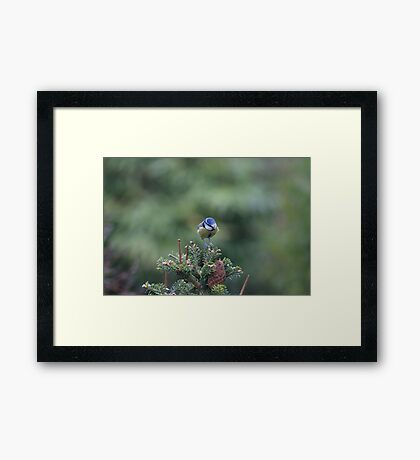 Perched on a pine tree Framed Print
