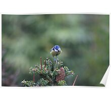 Perched on a pine tree Poster