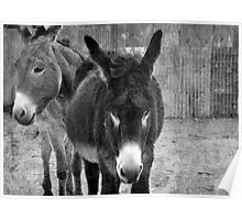 Silverton Donkeys Poster