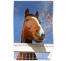 Thoroughbred Horse Peeking Out over the Fence Poster