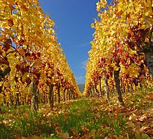 Autumn in the vineyard by roumen