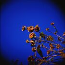 Holga Sunflowers by mewalsh