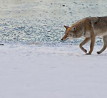 Coyote With A Mission by Jay Ryser