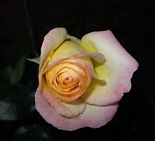 Winter Rose by kathrynsgallery
